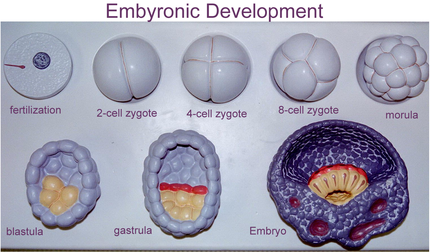 an overview of the development of the human zygote Human embryogenesis is the process of cell division and cellular differentiation of the embryo that occurs during the early stages of developmentin biological terms, human development.