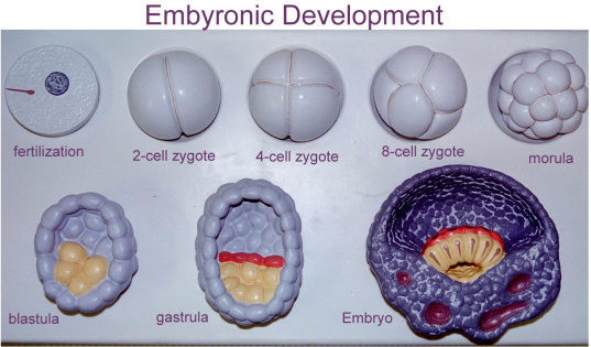 develop_zygote_cleavage_stages_blastula_etc