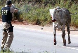 police-shooting-bull